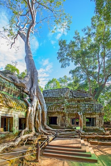 Ruins of ta prohm temple twined around by giant roots in the angkor wat in cambodia