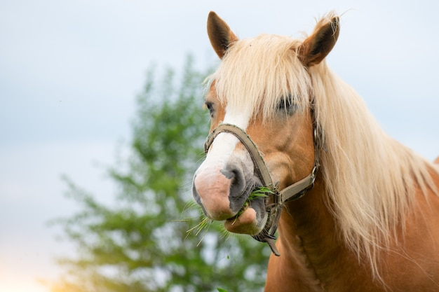 Жвачные лошади едят траву
