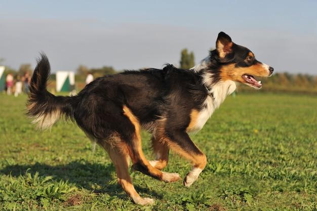 Running, australian shepherd