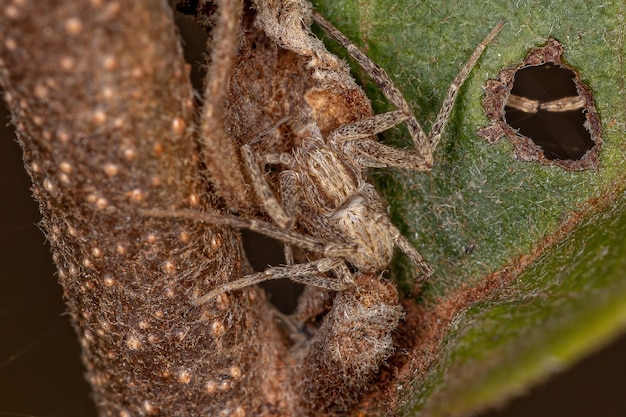 Running crab spider of the family philodromidae