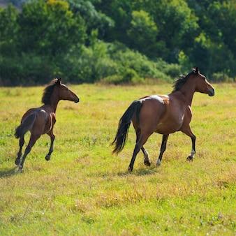 緑の草のある牧草地で暗い湾の馬を走らせる
