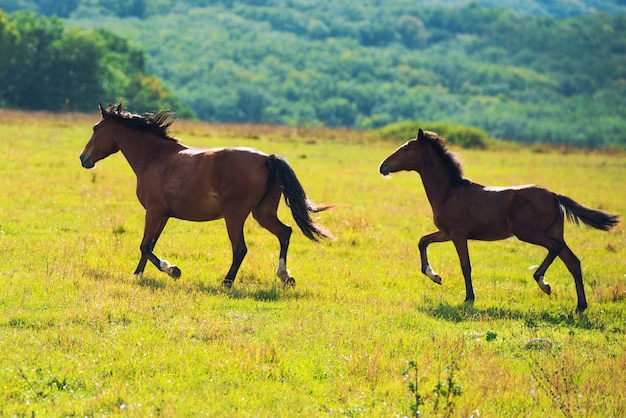 Running dark bay horses in a meadow with green grass. nature landscape