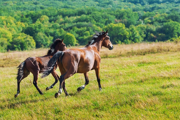 Running dark bay horses in a meadow with green grass