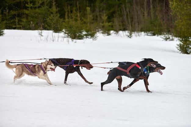 犬ぞりレースでドーベルマン犬を走らせる