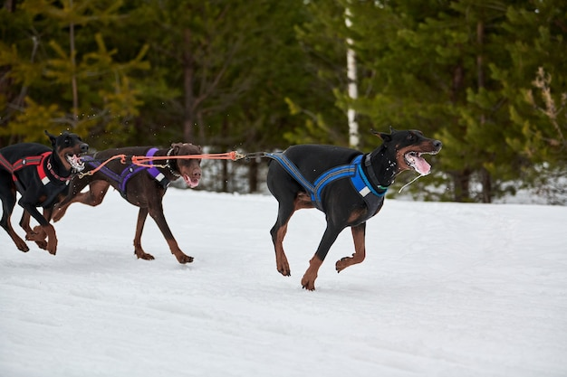 Running doberman dog on sled dog racing. winter dog sport sled team competition