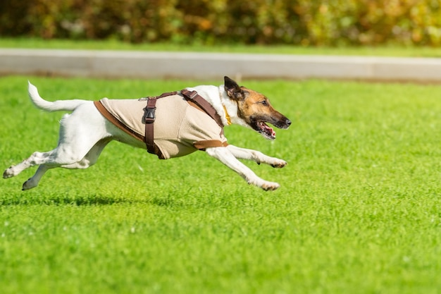Running dog on grass