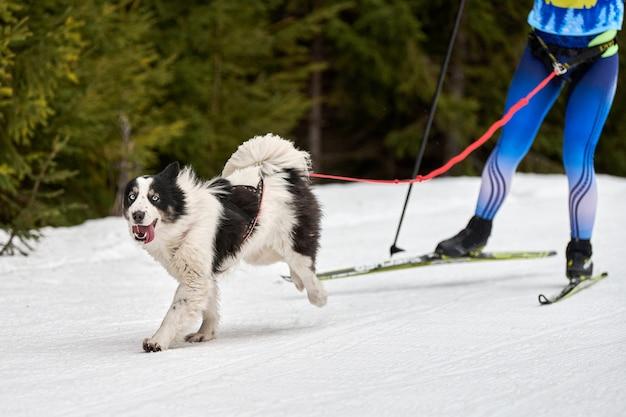 雪に覆われたクロスカントリーロードでの犬ぞりレースで犬を走らせる