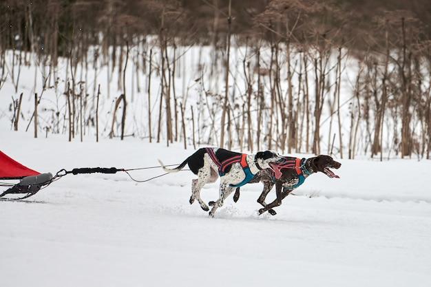 Бегущие собаки на собачьих упряжках по заснеженной бездорожью