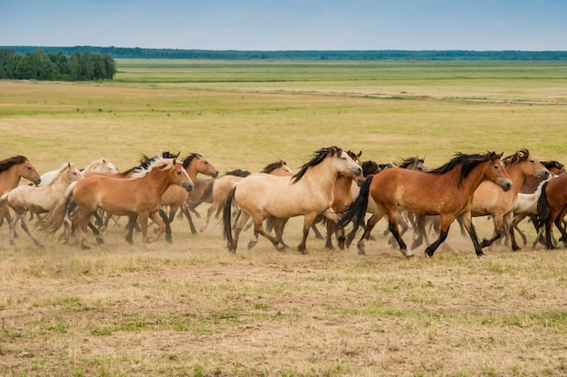 Running herd of horses on the field