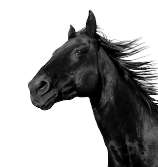 Running horse on white isolated
