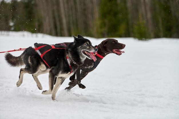 Бегущая собака хаски и пойнтер на собачьих упряжках. командные соревнования по зимнему собачьему спорту