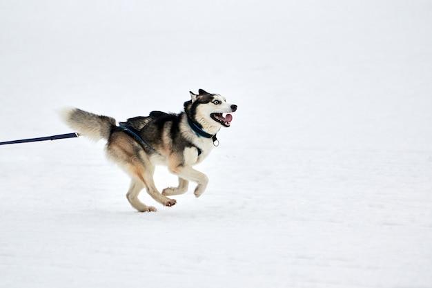 Бегущая собака хаски на собачьих упряжках. командные соревнования по зимнему собачьему спорту на собачьих упряжках