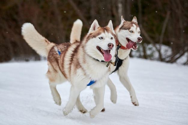 Бегущая собака хаски на собачьих упряжках. командные соревнования по зимнему собачьему спорту