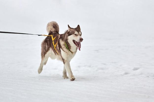 Бегущая собака хаски на собачьих упряжках. командные соревнования по зимнему собачьему спорту на собачьих упряжках.