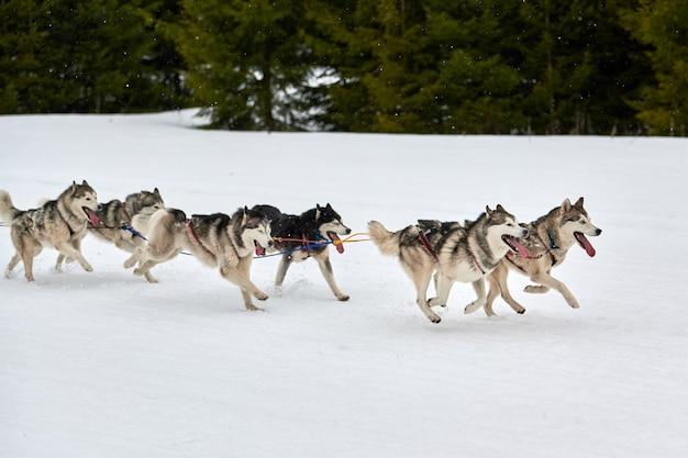 Running husky dog on sled dog racing. winter dog sport sled team competition