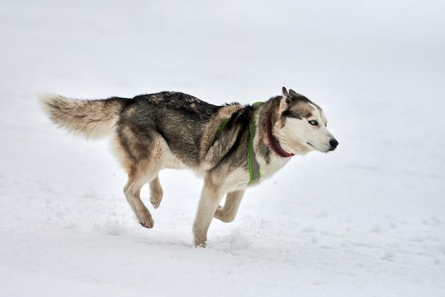 Running husky dog on sled dog racing