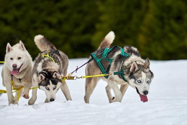 Бегущие хаски на собачьих упряжках