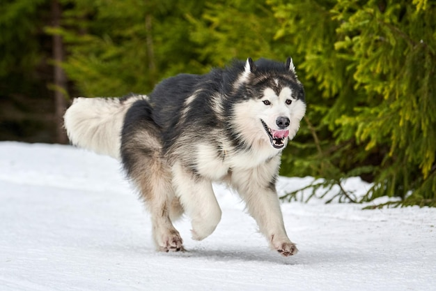 Бегущая собака маламут на собачьих упряжках. зимние собаки спорт сани командные соревнования по загородной трассе дорога