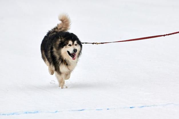 Бегущая собака маламут на собачьих упряжках. командные соревнования по зимнему собачьему спорту