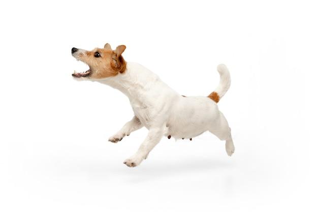 Работает на. позирует собачка джек рассел терьер. милая игривая собачка или домашнее животное, играя на белом фоне студии. понятие движения, действия, движения, любви домашних животных. выглядит счастливым, довольным, забавным.