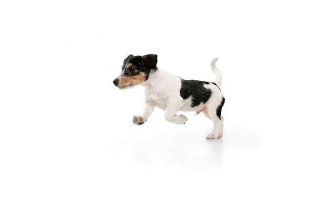 실행 중입니다. 잭 러셀 테리어 작은 강아지가 포즈를 취하고 있습니다. 흰색 스튜디오 배경에서 노는 귀여운 장난꾸러기 또는 애완동물. 움직임, 행동, 움직임, 애완동물 사랑의 개념. 행복하고, 기쁘고, 재미있어 보입니다.