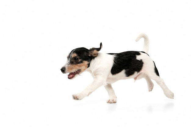 ジャックラッセルテリアで走っている小さな犬がポーズをとっているかわいい遊び心のある犬やペット