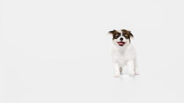 ランニング。パピヨン倒れた小さな犬がポーズをとっています。白いスタジオの背景で遊ぶかわいい遊び心のあるブラウン犬やペット。動き、行動、動き、ペットの愛の概念。幸せ、喜び、おかしいように見えます。