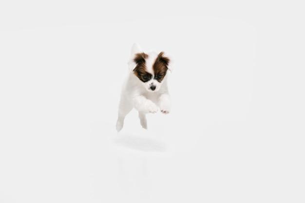 달리는. 빠삐용 타락한 작은 개가 포즈를 취하고 있습니다. 귀여운 장난 브라운 강아지 또는 애완 동물 흰색 스튜디오 배경에서 재생. 모션, 액션, 움직임, 애완 동물 사랑의 개념. 행복하고, 기쁘고, 재미있어 보인다.