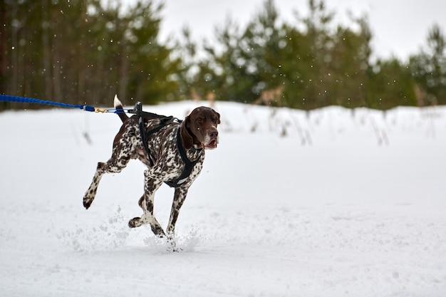 Бегущая собака пойнтер на собачьих упряжках. командные соревнования по зимнему собачьему спорту на собачьих упряжках
