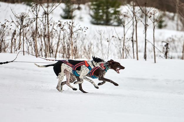 Бегущая собака пойнтер на собачьих упряжках