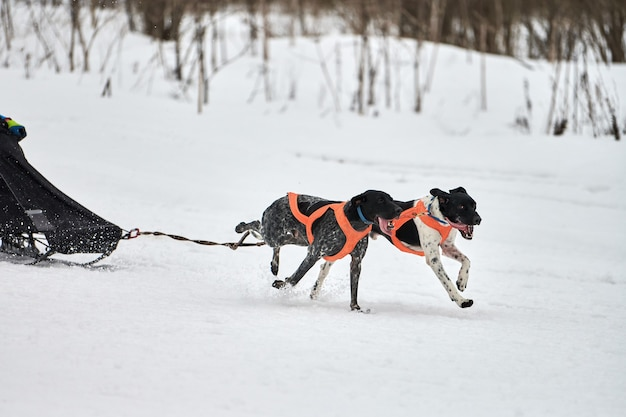 Running pointer dog on sled dog racing. winter dog sport sled team competition