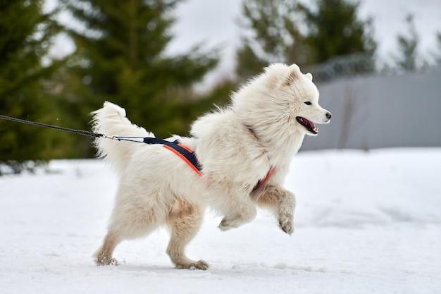 Бегущая самоедская собака на собачьих упряжках. командные соревнования по зимнему собачьему спорту на собачьих упряжках.