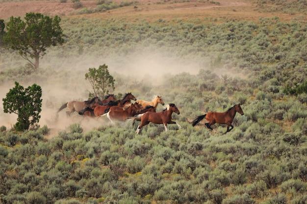 Running wild horses at utah roundup
