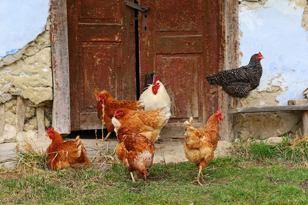 田舎の鶏と酉のクローズアップ