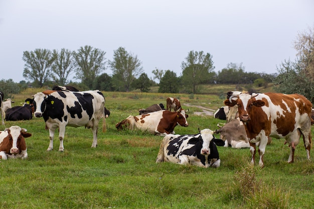 Rural cows graze on a green meadow. rural life. animals. agricultural country