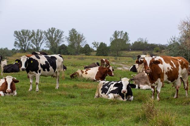 Сельские коровы пасутся на зеленом лугу. сельская жизнь. животные. аграрная страна
