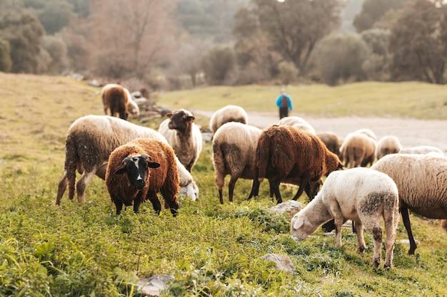 日没時に放牧している田舎の家畜の羊や山羊、屋外の家畜、肖像画のクローズアップ。自然条件の家畜がいる風光明媚な田園地帯