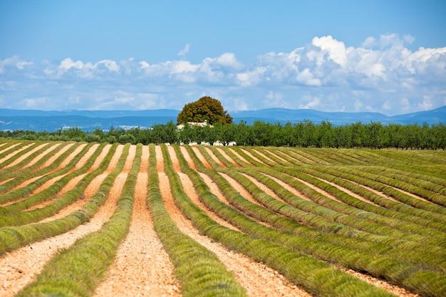 収穫されたラベンダー畑、ヴァロンソル、プロヴァンス、フランスの田舎の家