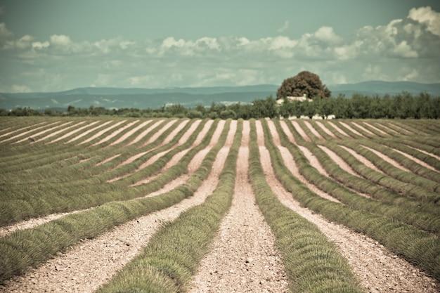 수확 된 라벤더 밭, valensole, 프로방스, 프랑스의 시골 집