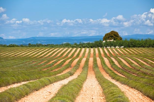 수확된 라벤더 밭, valensole, provence, france의 시골 집