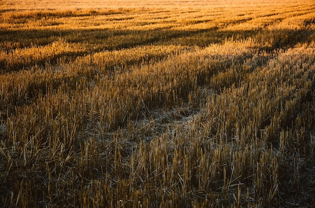 Rural landscape agricultural natural background with copy space mown wheat field with rows of mown