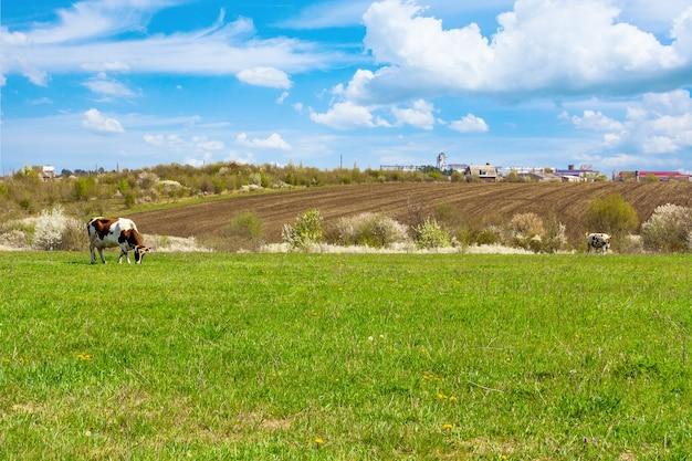 耕作可能な土地の牧草地と動物の牛のいる田園風景