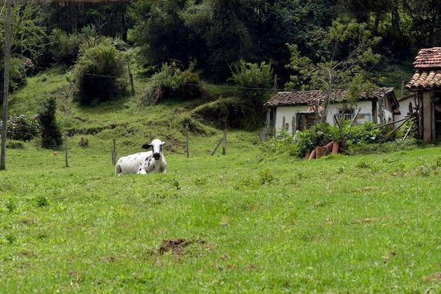 牛、草、木がある田園風景。ミナスゲラシ;ブラジル