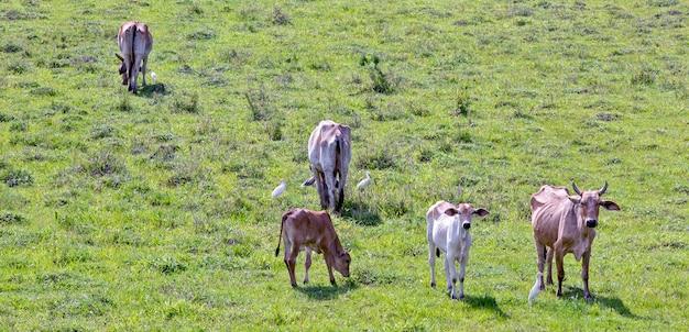 牛の放牧のある田園風景。サンパウロ州、ブラジル。