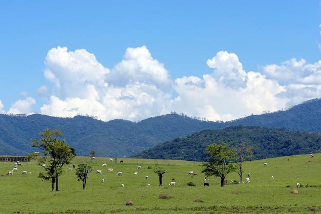 牧草地、木々、丘、青い空に牛がいる田園風景。サンパウロ州、ブラジル。