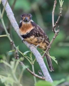 Красновато-коричневый горло puffbird в дереве
