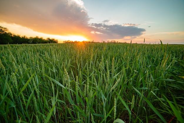 Россия деревня закат поле яркое солнце яровая пшеница