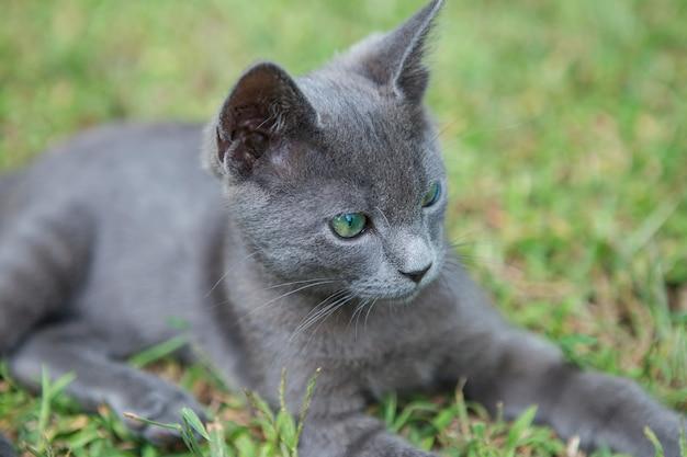 Русская голубая кошка. на зеленой траве сидит маленький серый зеленоглазый породистый котенок.