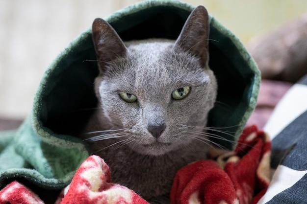 Русская голубая кошка выразительно выглядывающая из-под капюшона. опасный кот с капюшоном.