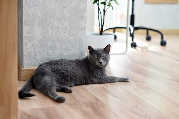 Russian blue cat laying under the table at home. relaxing cat.
